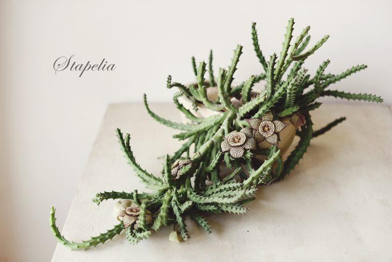 Стапелия – цветето, което мирише на плик с боклук